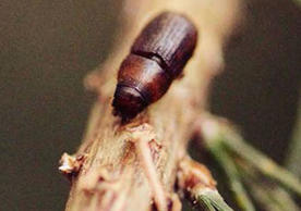Bark beetles of Connecticut: What are they, and what do they do?