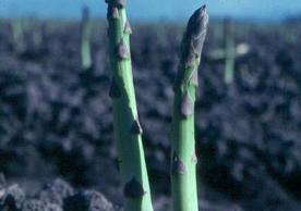 Try A Little Salt On Your Asparagus